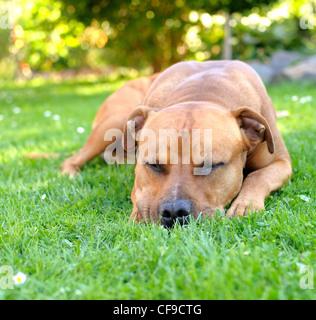 Portrait of sleep brown American Staffordshire bull terrier in garden. - Stock Photo
