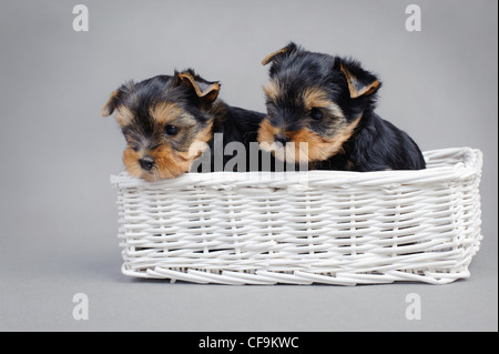 Two Yorkshire terrier dog puppies portraitin a white basket - Stock Photo