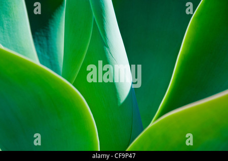 agave leaves - Stock Photo