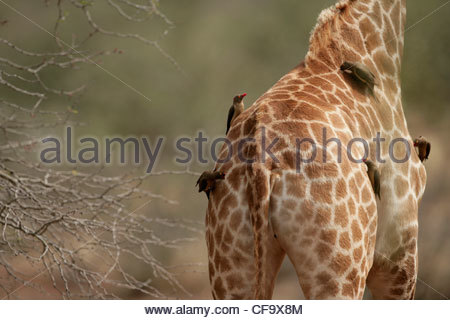 Red-Billed Oxpeckers on Giraffe - Stock Photo