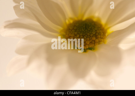 Studio shot of a daisy lit from below with shallow focus creating this delicate impression - Stock Photo