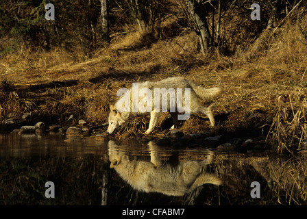 Wolf (Canis lupus) drinking from a pond, Montana, USA. - Stock Photo