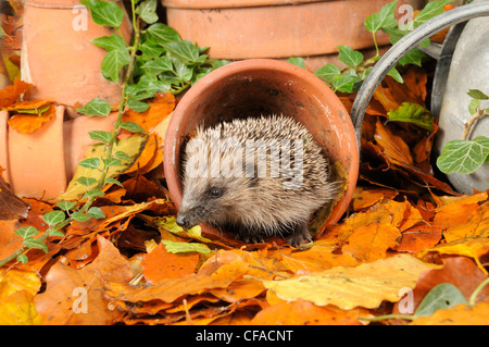 Hedgehog (erinaceus europaeus) foraging for food in urban garden amongst terracotta pots and autumn leaves. UK - Stock Photo