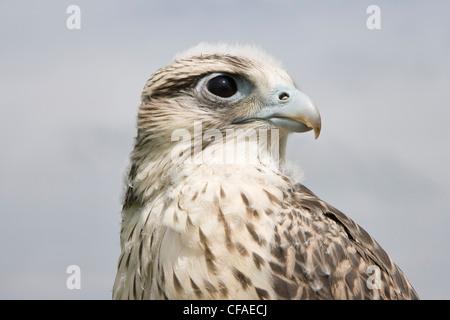 Gyrfalcon Falco rusticolus X Lanner falcon Falco - Stock Photo