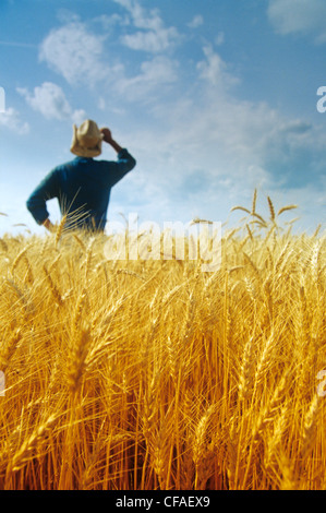 Closeup of harvest ready winter wheat with farmer in background, near Oakbank, Manitoba, Canada. - Stock Photo