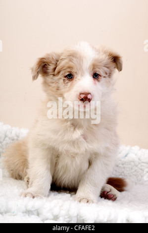 Border Collie Dogs.Puppies. - Stock Photo