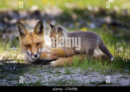 The Red Fox most commonly rusty red white - Stock Photo