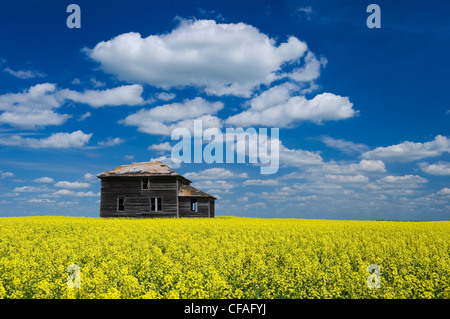 abandoned farm house in canola field with cumulus clouds in the sky, near Torquay, Saskatchewan, Canada - Stock Photo