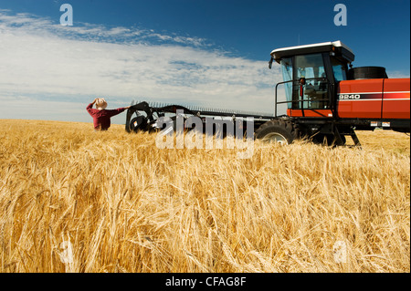 a man views harvest ready barley being swathed neat Treherne, Manitoba, Canada - Stock Photo