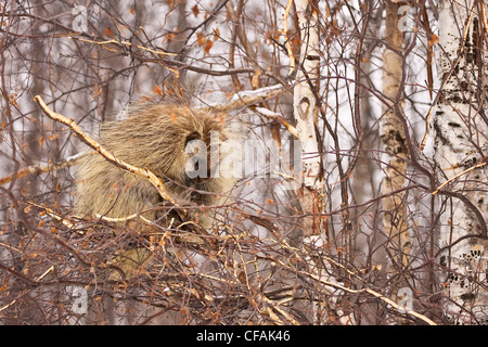 North American Porcupine (Erethizon dorsatum) sleeping in tree in Elk Island National Park, Alberta, Canada. - Stock Photo