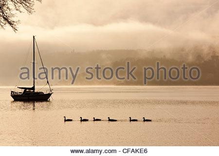 Ducks swimming in a row in still lake - Stock Photo