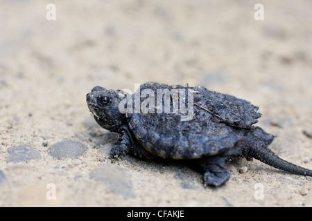 Tiny Snapping Turtle (Chelydra serpentina) hatchling on a gravel road near Guelph, Ontario, Canada - Stock Photo