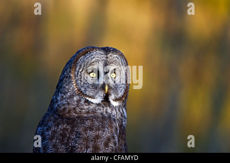 Portrait of great grey owl (Strix nebulosa), Chilcotin region of British Columbia, Canada - Stock Photo