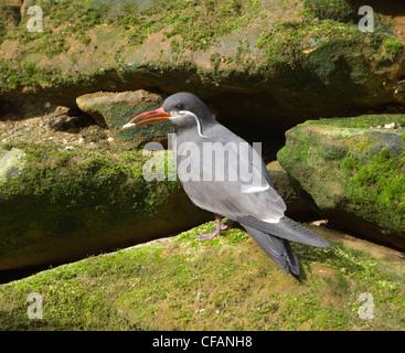 Inca Tern (Larosterna inca) Captive - Stock Photo