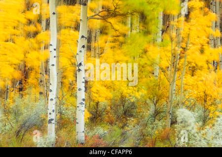 Wind in aspen forest (Populus tremuloides), Kootenay Plains, Alberta, Canada - Stock Photo