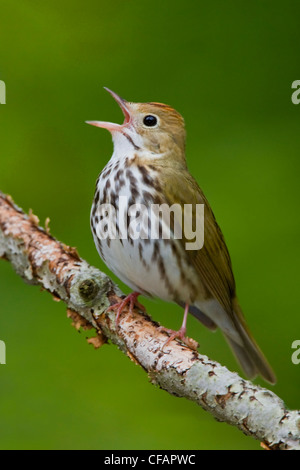 Ovenbird (Seiurus aurocapillus) perched on a branch singing near Long Point, Ontario, Canada - Stock Photo