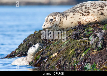 Fur seals (Callorhinus ursinus) adult and pup basking on rocks near Victoria, Vancouver Island, British Columbia, - Stock Photo