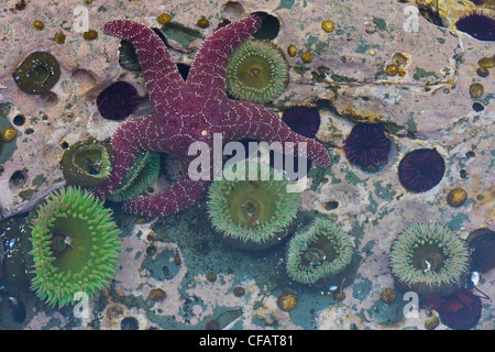 A tidal pool filled with sea anemones and starfish on the West Coast Trail on Vancouver Island, British Columbia, - Stock Photo
