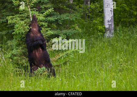 Adult female Black bear (Ursus americanus) scratching its back on a tree in Riding Mountain National Park, Manitoba, - Stock Photo