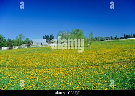 Field of Dandelions (Taraxacum) next to a barn in Pownal, Prince Edward Island, Canada. - Stock Photo