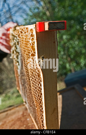 A dead bee super frame, from a beehive - Stock Photo