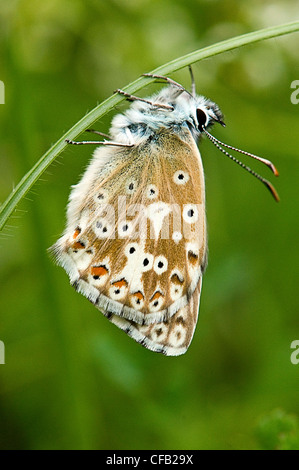 Chalkhill blue butterfly - Stock Photo