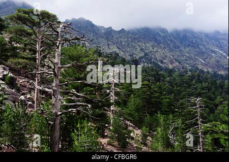 Asco, tree, pine, black pine, forest, wood, trees, Corsica, France, Haut Asco, Haute-Corse, conifer, landscape, scenery, Laricio