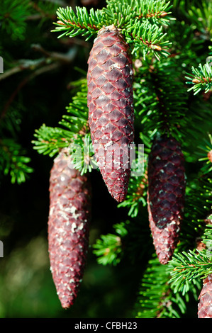 Blätter, norway spruce, cone, spruce cone, spruce needles, Jura, canton Solothurn, conifer, nature, Picea abies, - Stock Photo