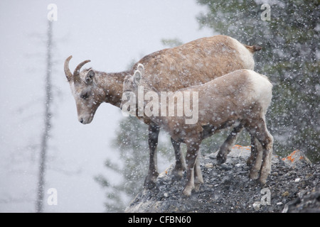 Bighorn sheep ewe and lamb (Ovis canadensis) in snowstorm, Columbia Icefields, Jasper National Park, Alberta, Canada - Stock Photo
