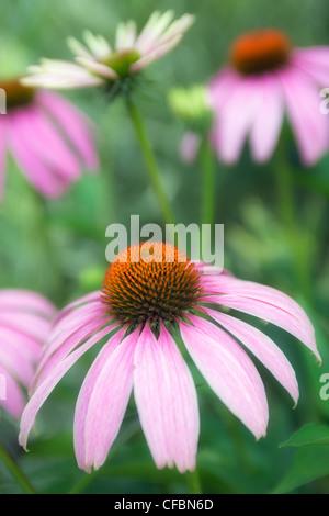 Close-up of coneflower, Niagara Botanical Gardens, Niagara Falls, Canada - Stock Photo