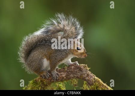 Eastern gray squirrel (Sciurus carolinensis) on perch at Victoria, Vancouver Island, British Columbia, Canada - Stock Photo