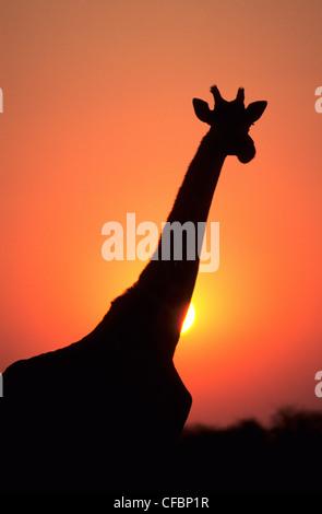 Giraffe (Giraffa camelopardalis) at sunset, Masai Mara Reserve, Kenya, East Africa - Stock Photo
