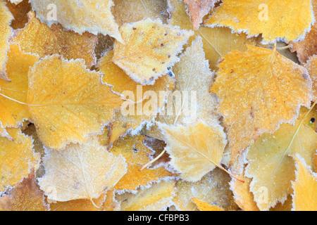 Detail, birch, birches, birch sheet, birch sheets, nature, hoarfrost - Stock Photo