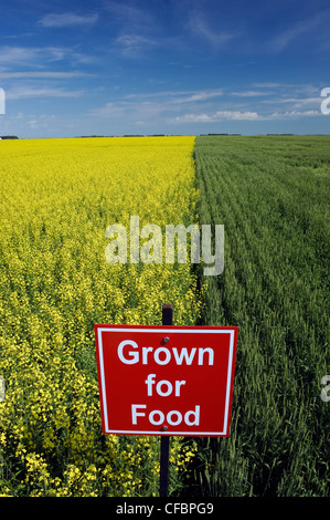 Blooming canola and spring wheat fields with 'Grown for food' sign near Dugald, Manitoba, Canada - Stock Photo
