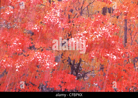 Autumn foliage of Red maple (Acer rubrum) in snowstorm in Algonquin Provincial Park, Ontario, Canada - Stock Photo