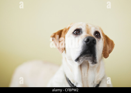 Yellow Labrador Retriever dog looking up. Winnipeg, Manitoba, Canada. - Stock Photo