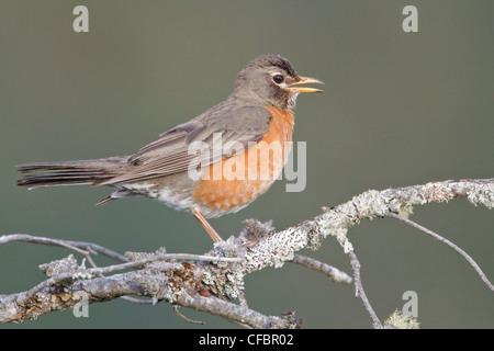 American Robin (Turdus migratorius) perched on a branch in Victoria, BC, Canada.