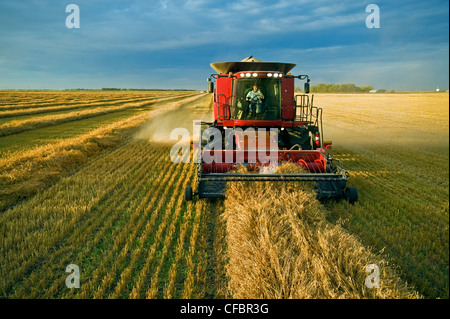 A farmer talks on his cell phone while harvesting his swathed oats (Avena sativa) near Dugald, Manitoba, Canada - Stock Photo