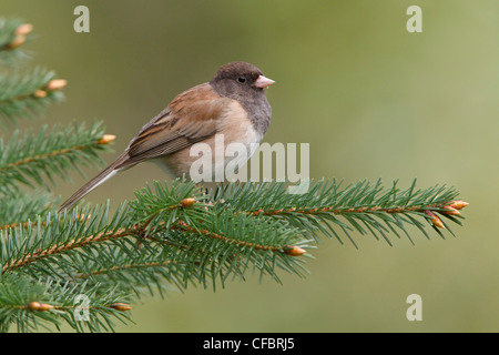 Dark Eyed Junco (Junco hyemalis) perched on a branch in Victoria, BC, Canada. - Stock Photo