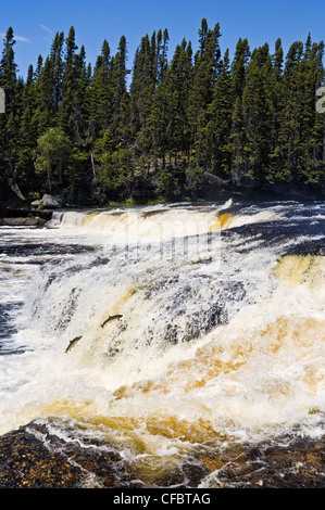 Atlantic Salmon Salmo salar adults leap up falls - Stock Photo