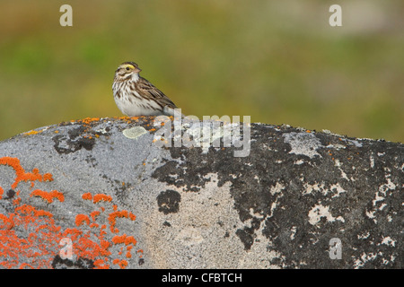 Savannah Sparrow (Passerculus sandwichensis) perched on a rock in Churchill, Manitoba, Canada. - Stock Photo