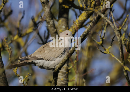 Eurasian Collared Dove, Streptopelia decaocto, Columbidae, dove, animal, bird, Champagne, France - Stock Photo