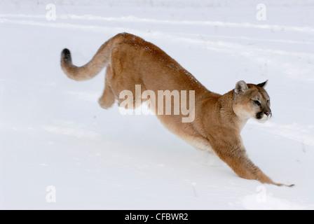 Mountain lion (Puma concolor) running through snow, Minnesota, USA - Stock Photo