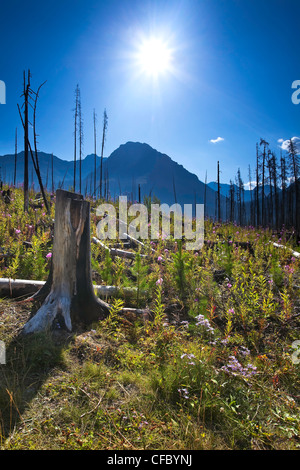 Forest renewal after 2003 Kootenay Wildfires - Stock Photo
