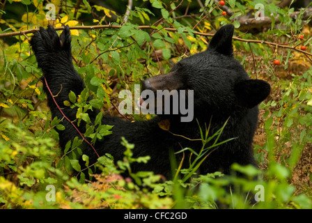 A black bear eats rosehips on a rainy day in Bella Coola, British Columbia, Canada - Stock Photo