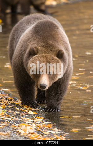 A Grizzly Bear walks along the shoreline of the Chilko River, British Columbia, Canada - Stock Photo