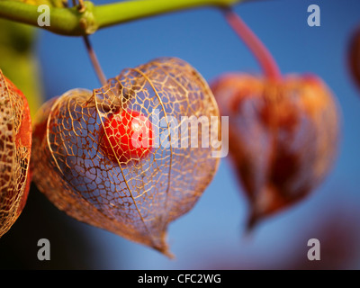 physalis alkekengi chinese lantern fruit also named winter cherry stock photo royalty free. Black Bedroom Furniture Sets. Home Design Ideas