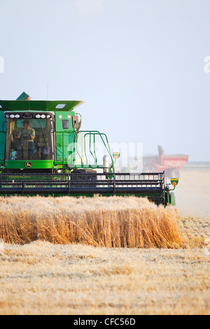 Combine harvesting wheat crop on Canadian Prairie. Near Winkler, Manitoba, Canada. - Stock Photo