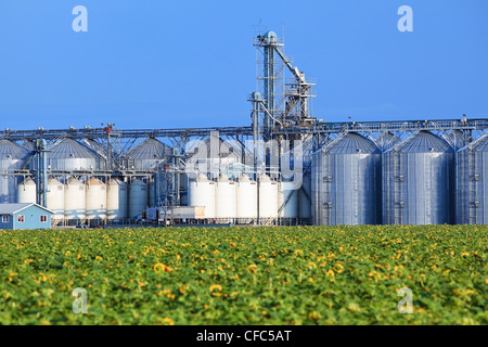 Inland grain terminal and sunflower field crop. Rathwell, Manitoba, Canada. - Stock Photo