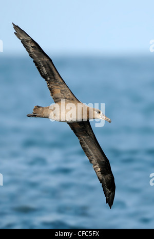 Black-footed Albatross on pelagic trip off Westport WA - Stock Photo